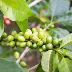 Green Coffee Extract for Weight Loss? Not so Fast…